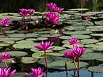 Pond of water lilies at Angkor Wat