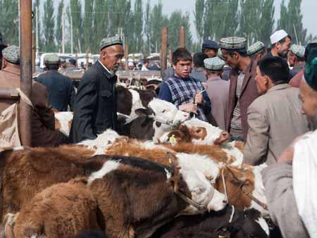 Plenty of Uyghur men and livestock