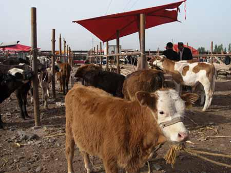 Plenty of cows at the Kashgar livestock market
