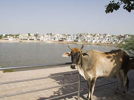 Cow on the edge of Pushkar Lake