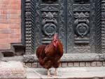 Chicken standing outside an ornate metal door