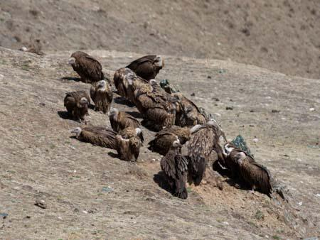 Vultures patiently waiting for the next sky burial